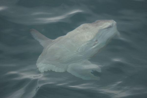 Maanvis (Mola mola)
