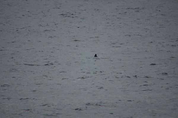 Bruinvis (Phocoena phocoena) - Harbour porpoise