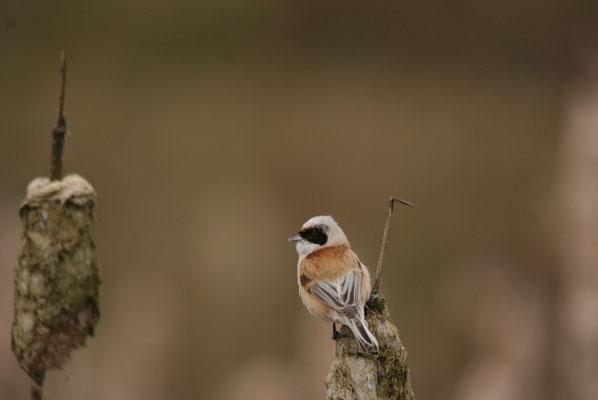 Buidelmees (Remiz pendulinus) - Wondelgem, België