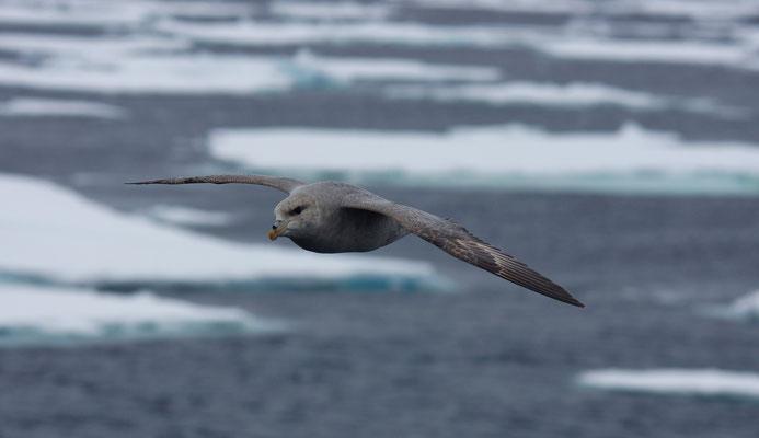 Noordse stormvogels (Fulmarus glacialis)