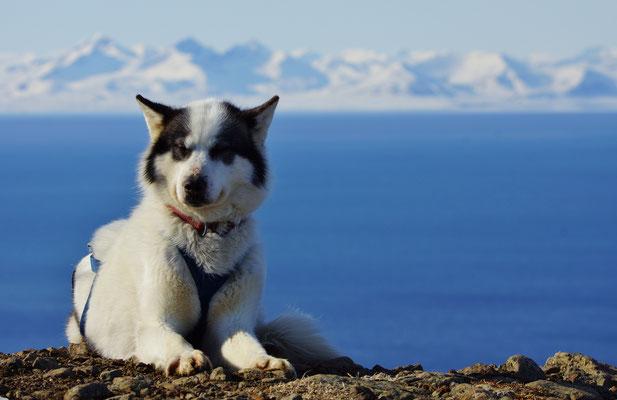 Een van de sledehonden
