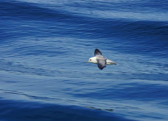 Noordse stormvogel (Fulmarus glacialis)