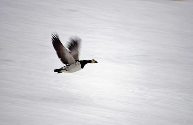 Brandgans (Branta leucopsis) - Barnacle goose