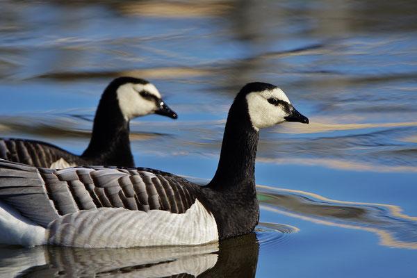 Brandgans - Barnacle goose (Branta leucopsis). Echte wilde examplaren!