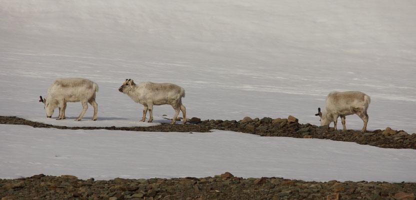 Spitsbergenrendier (Rangifer tarandus platyrhynchus) - Svalbard reindeer