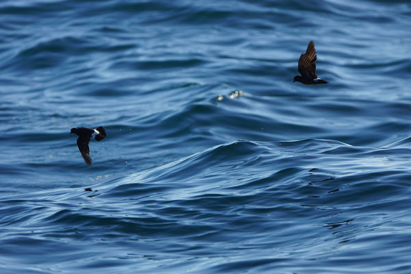 Stormvogeltjes (Hydrobates pelagicus)
