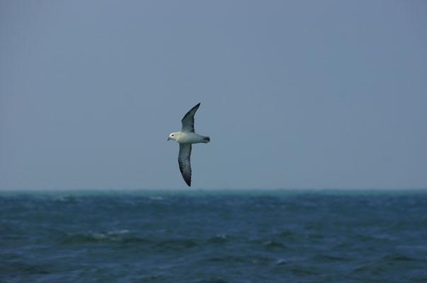 Noordse stormvogel (Fulmarus glacialis) - Northern fulmar - Noordzee