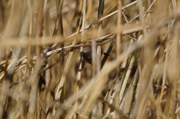 Cetti's zanger (Cettia cettia) - Cetti's warbler - Vinne, België