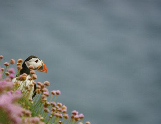 Papegaaiduiker (Fratercula arctica)
