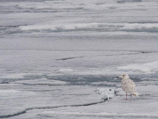 Grotere burgemeester - Glaucous gull (Larus hyperboreus)