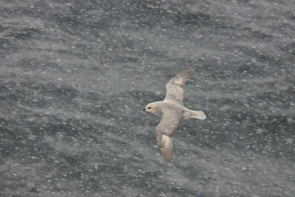Noordse stormvogel (Fulmarus glacialis) - Fulmar