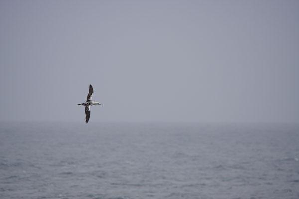 Jan-van-gent -Northern gannet (Morus bassanus). Dit 2de kalenderjaar was de meest noordelijke Jan-van-gent die we zagen.