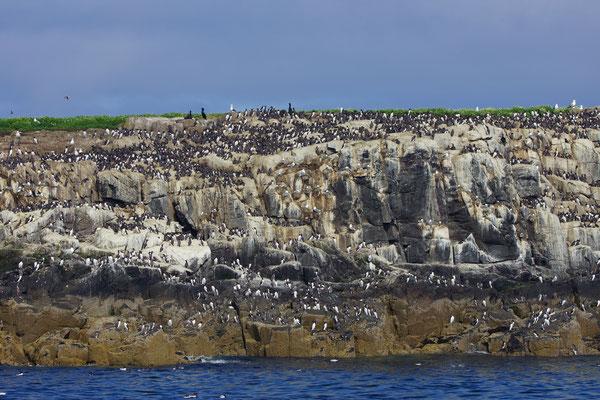 Kliffen vol zeevogels