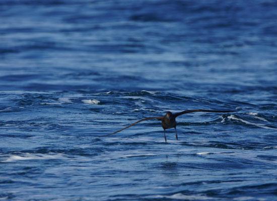 Een andere klepper is de Grauwe pijlstormvogel (Puffinus griseus). Deze soort migreert in september van het noordelijk naar het zuidelijk halfrond om daar te gaan broeden. We zagen er een 10-tal. Ze kenmerken zich door hun volledig donker verenkleed.