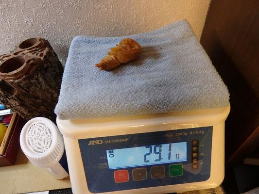 40gアップの幼虫でしたが、29.1gと思ったより軽かった。