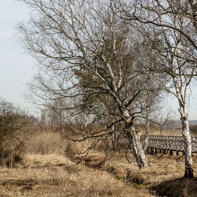 Ried und Birken am Federsee-Steg (Uwe)