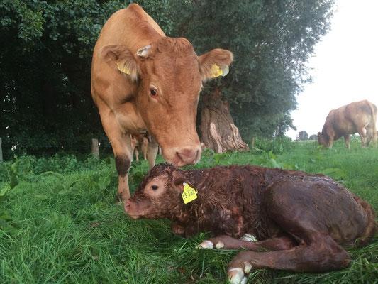 Kälber werden auf der Weide geboren