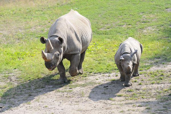 Spitzmaulnashorn Seba mit ihrem Sohn Sudan