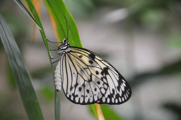 Nymphalidae - Weiße Baumnymphe - lebt als Tagfalter in Südostasien und gehört zur Familie der Edelfalter