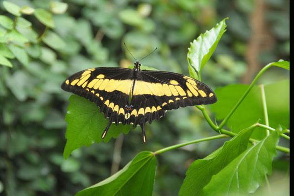 Papilio cresphontes - Brasilianischer Schwalbenschwanz
