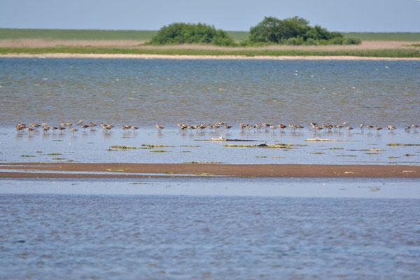 Brachvögel und dazwischen Uferschnepfen