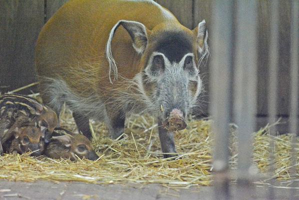 Pinselohrschwein mit Jungen