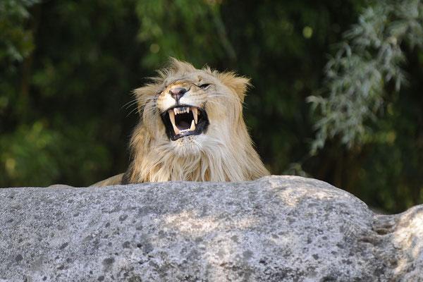 Afrikanischer Löwe - männlich