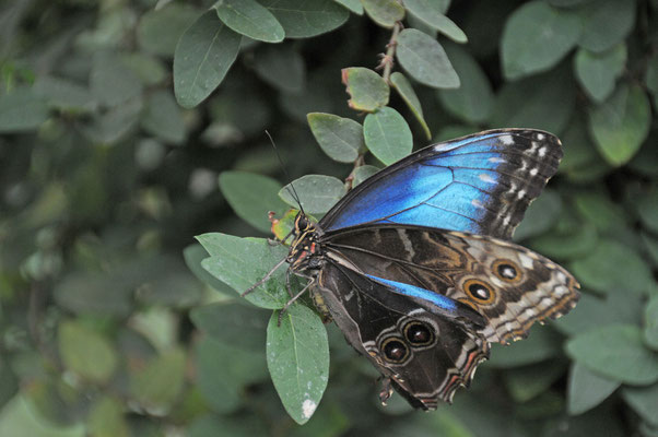 Morhpo peleides - Blauer Morphofalter - Himmelsfalter. Lebt in den tropischen Regenwäldern von Mexiko bis nach Brasilien. Er gehört zur Familie der Edelfalter