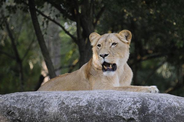 Afrikanischer Löwe - weiblich