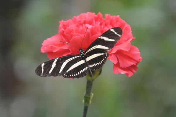 Heliconius charitonius - Zebrafalter (Südamerika)