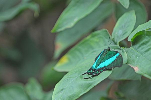 Papilio palinurus - Grüner Ritter -Neon Schwalbenschwanz - gesetzlich geschützt