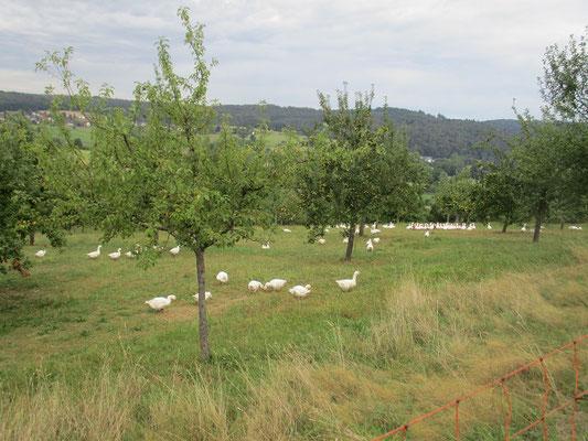 Gänsezucht am Burghang