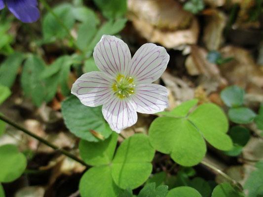 """Unsere Blume des Tages """"Wald-Sauerklee"""" Sie wurde früher als Salatgewürz benutzt."""