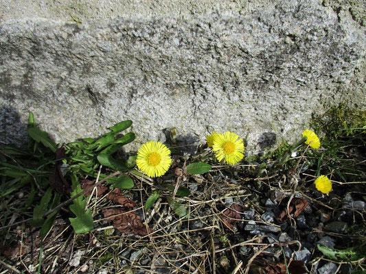 Die Burgblume des Tages Huflattich
