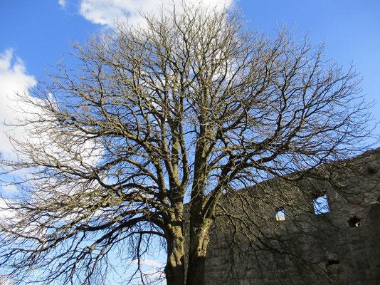 Im Innenhof der Burg steht heute dieser Baum, früher war hier ein Brunnen