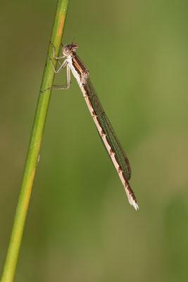 Gemeine Winterlibelle  ( Sympecma fusca )