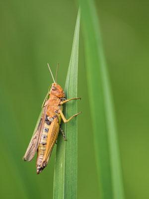 Bunter Grashüpfer  Weibchen  ( Omocestus viridulus )