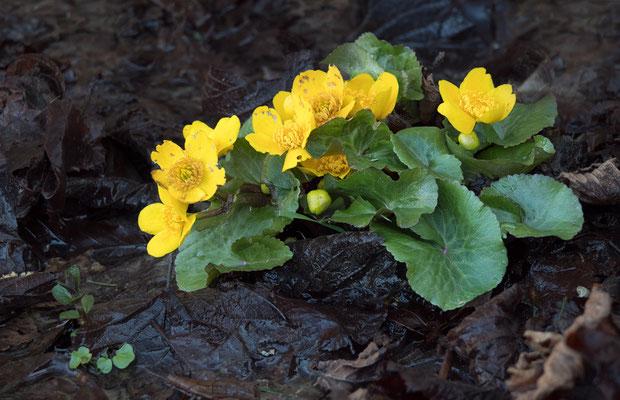Sumpfdotterblume  ( Caltha palustris )