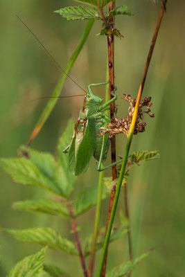 Zwitscherschrecke  ( Tettigonia cantans )