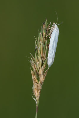 Weißer Graszünsler  Crambus perlella )