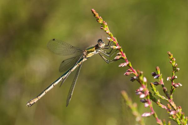 Gemeine Binsenjungfer Weibchen (Lestes sponsa )