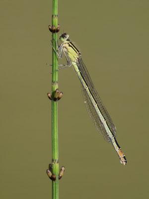 Große Pechlibelle  Weibchen  ( Ischnura elegans )