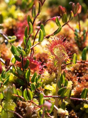 Rundblättriger Sonnentau ( Drosera rotundifolia )