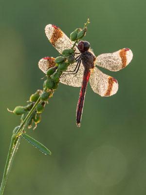 Gebänderte Heidelibelle  Männchen  ( Sympetrum pedemontanum ) RLB 2