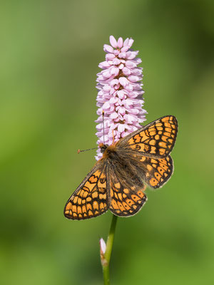Goldener Scheckenfalter  (Euphydryas aurinia) RLD 2