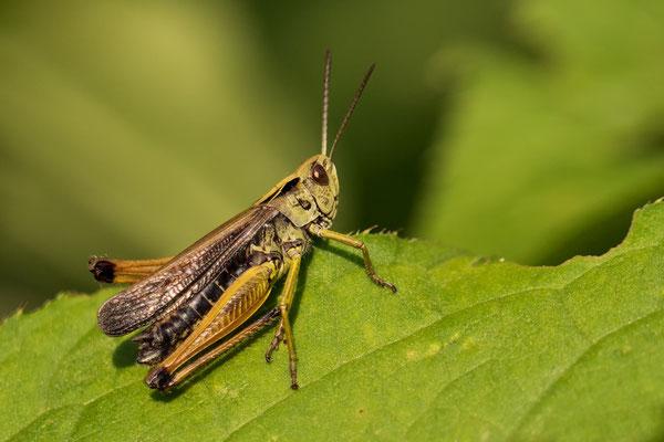 Bunter Grashüpfer  Männchen  ( Omocestus viridulus )