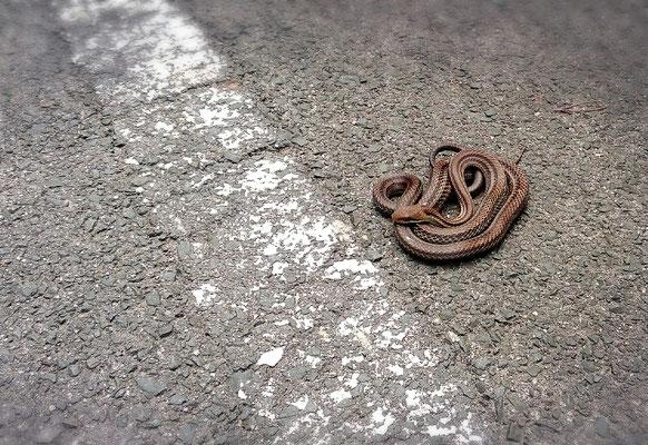 見つけるとちょっとギョっとなる… シマヘビ