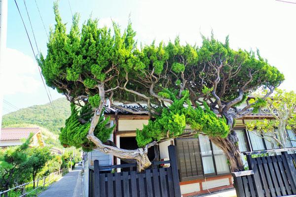 立派な杉の枝がアーチになって・・・