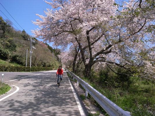 桜のトンネル いつかまたここを自転車で走りたい