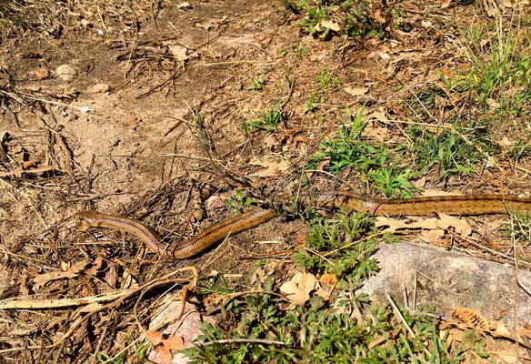 Gut getarnte Schlange auf dem Pfad